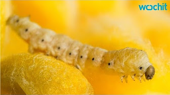 New Silkworm Diet May Lead to Stronger Silk Threads