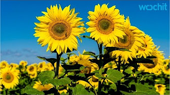 Sunflowers Have Internal Clocks?